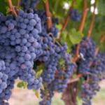 Vigne et terroir pour votre incentive dans le beaujolais