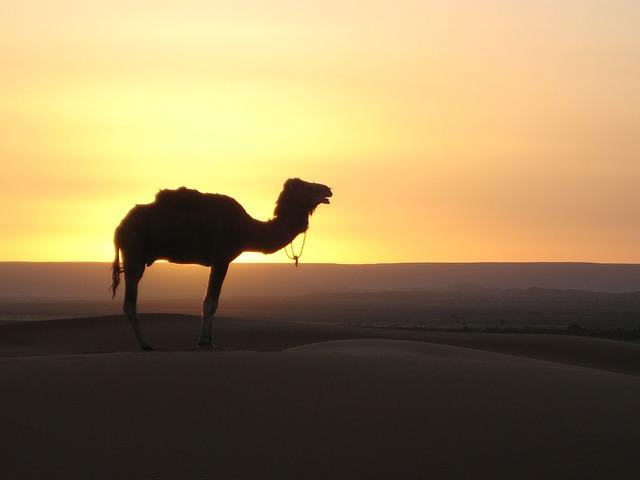 Promenade à dos de chameaux dans le désert pour votre séminaire au Maroc.